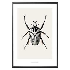 Hagedornhagen poster B8 Goliath beetle 42x59