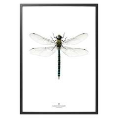 Hagedornhagen Poster B7 Dragonfly NEW