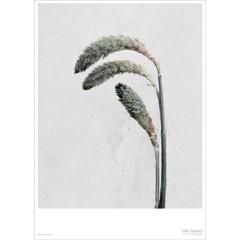 Vissevasse poster Vee Speers - Botanica Pennisetum