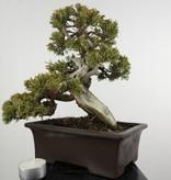 Bonsai Chin. Wacholder, Juniperus chinensis itoigawa, nr. 5126