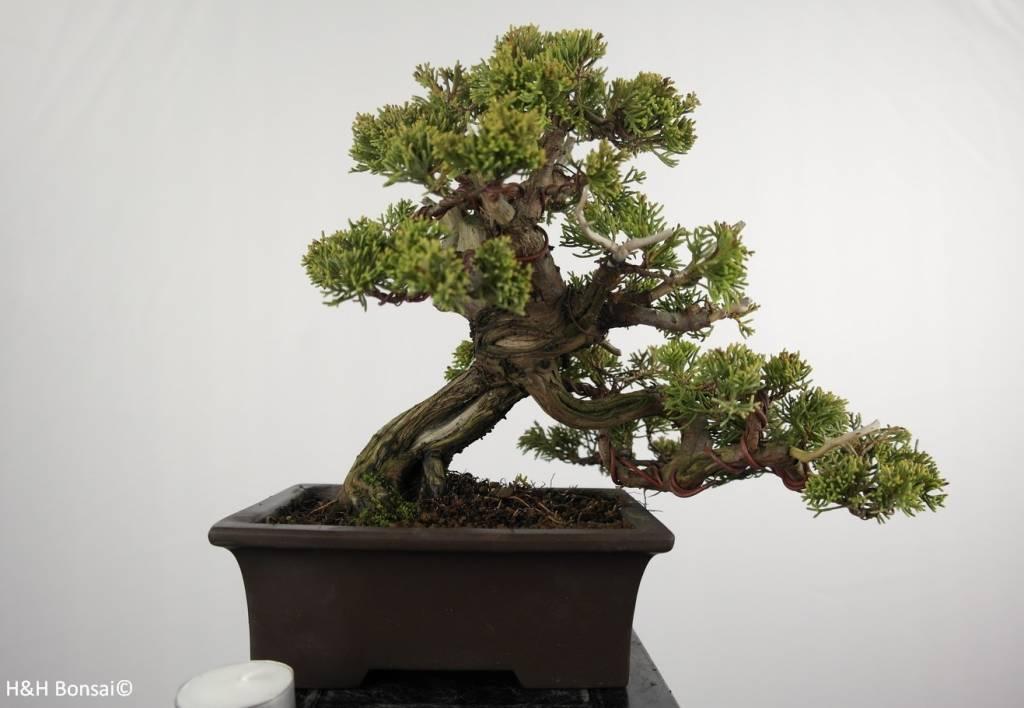 Bonsai Juniperus chinensis itoigawa, Jeneverbes, nr. 5126