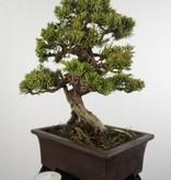 Bonsai Chin. Wacholder, Juniperus chinensis itoigawa, nr. 5127
