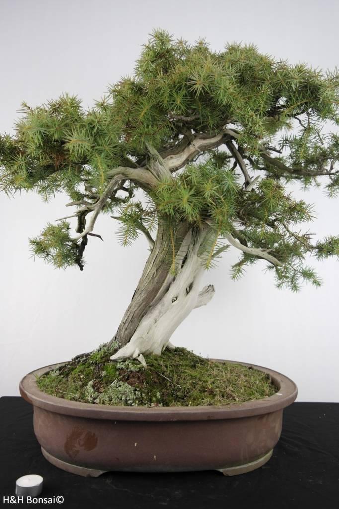 Bonsai Japanische Igelwacholder, Juniperus rigida, nr. 5142