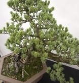 Bonsai Pinus penthaphylla, Japanse witte den, nr. 5163