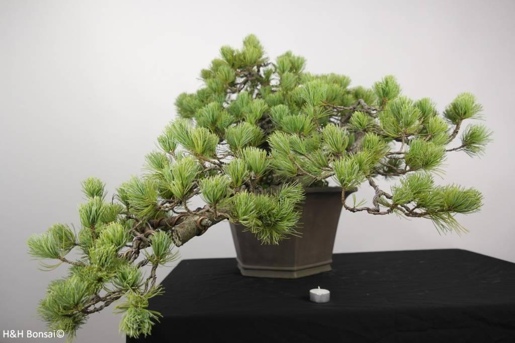 Bonsai Pinus penthaphylla, Japanse witte den, nr. 5172