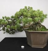 Bonsai White pine, Pinus penthaphylla, no. 5172
