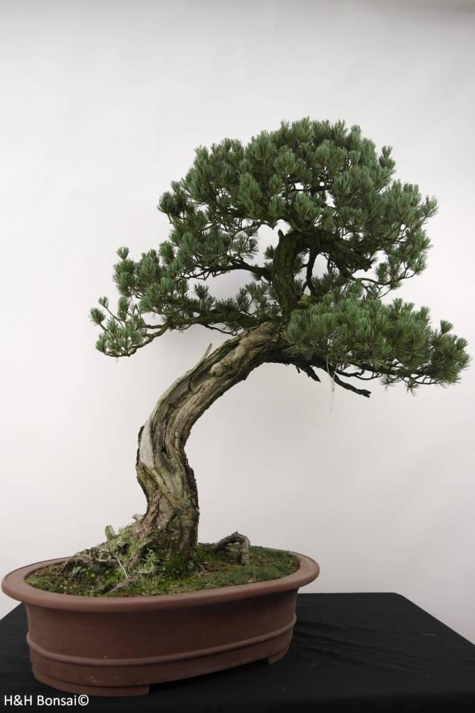 Bonsai Mädchenkiefer, Pinus penthaphylla, nr. 5173