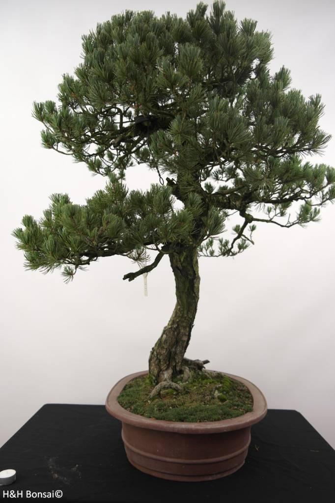 Bonsai Pinus penthaphylla, Japanse witte den, nr. 5173