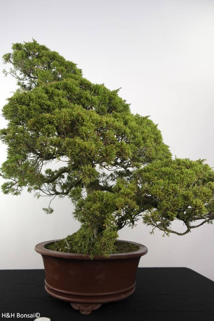 Bonsai Juniperus chinensis itoigawa, Jeneverbes, nr. 5181