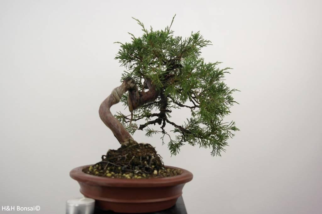 Bonsai Juniperus chinensis itoigawa, Jeneverbes, nr. 5185