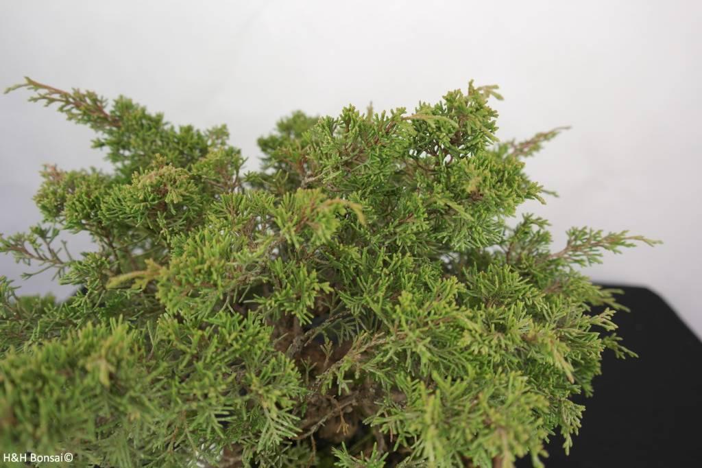 Bonsai Chin. Wacholder, Juniperus chinensis itoigawa, nr. 5277