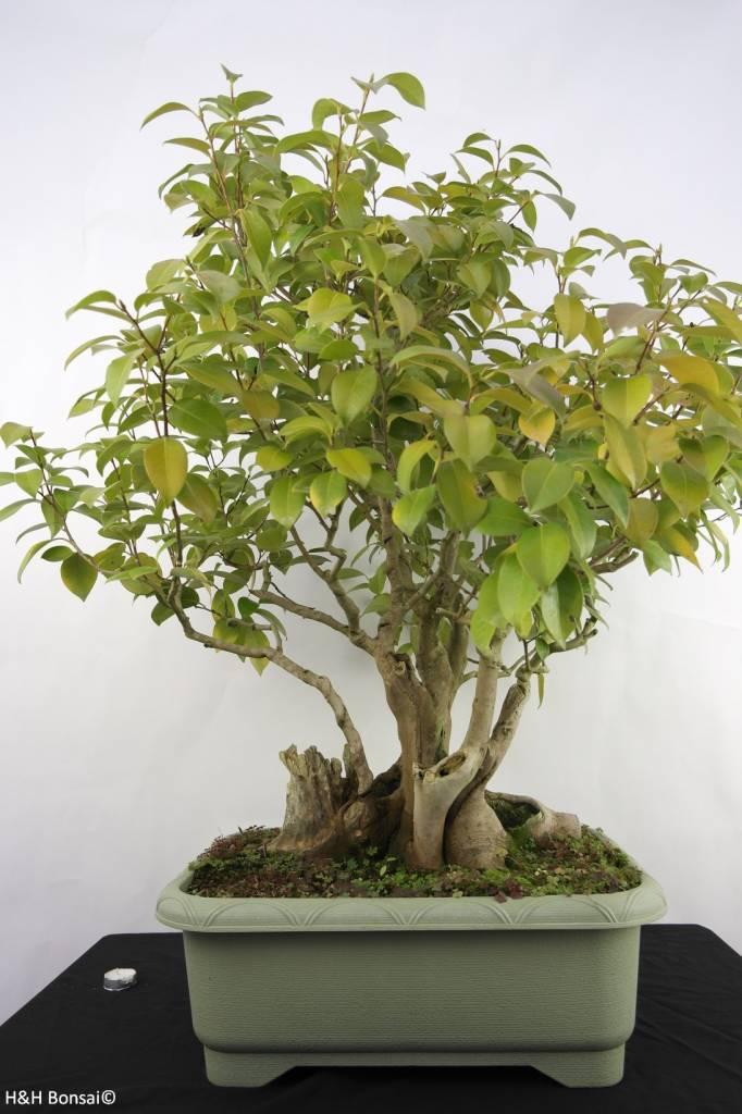 Bonsai Camellia japonica, nr. 5278