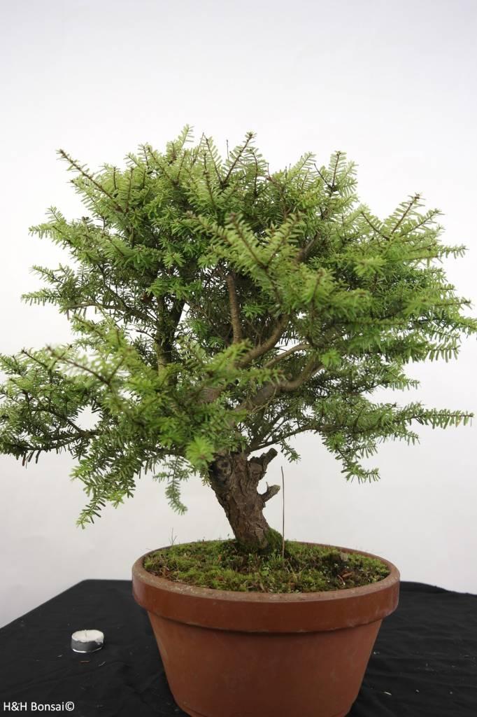 Bonsai Tsuga diversifolia, Scheerlingsden, nr. 5280