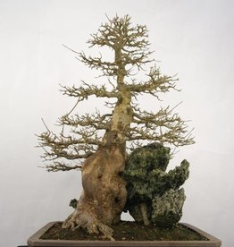 Bonsai Trident maple, Acer buergerianum, no. 5286