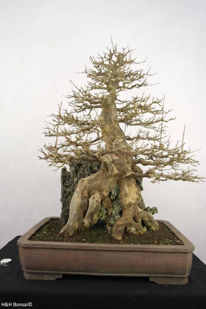 Bonsai Acer buergerianum,  Drietands Esdoorn, nr. 5286