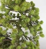 Bonsai White pine, Pinus penthaphylla, no. 5299