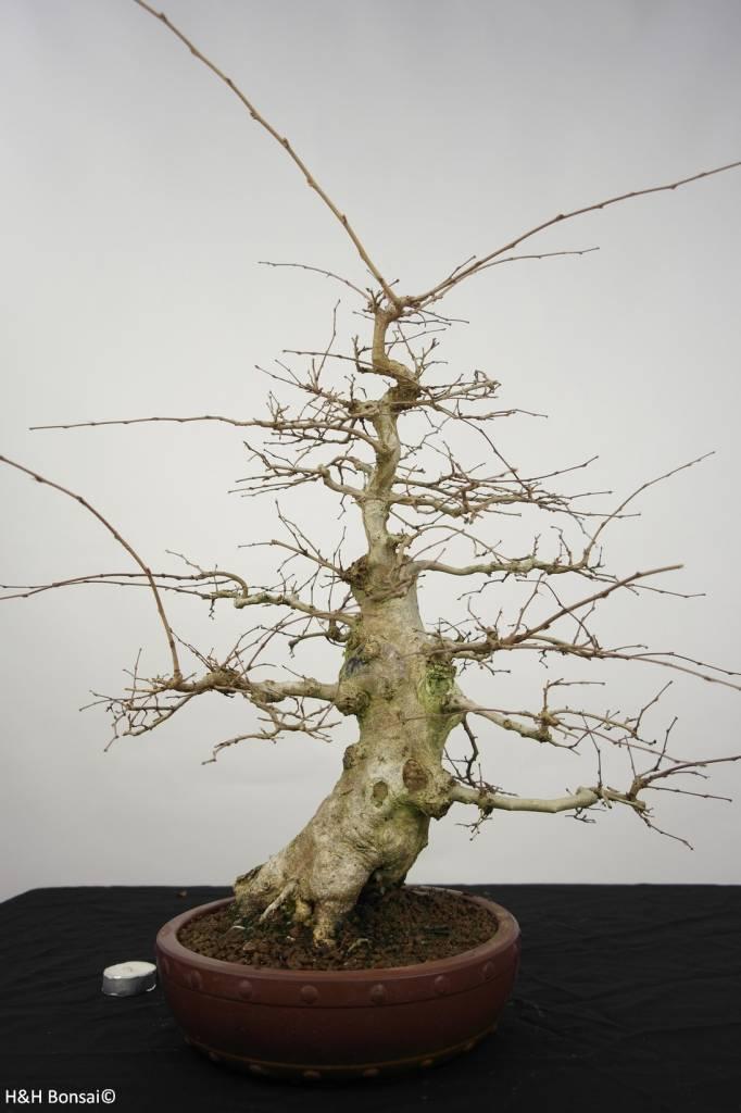 Bonsai Carpinus coreana, Koreaanse Haagbeuk, nr. 5227