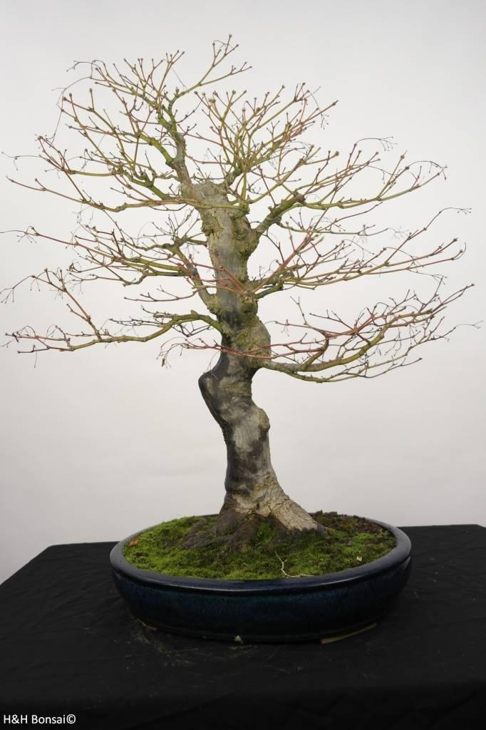 Bonsai Japanese Maple, Acer palmatum, no. 5232