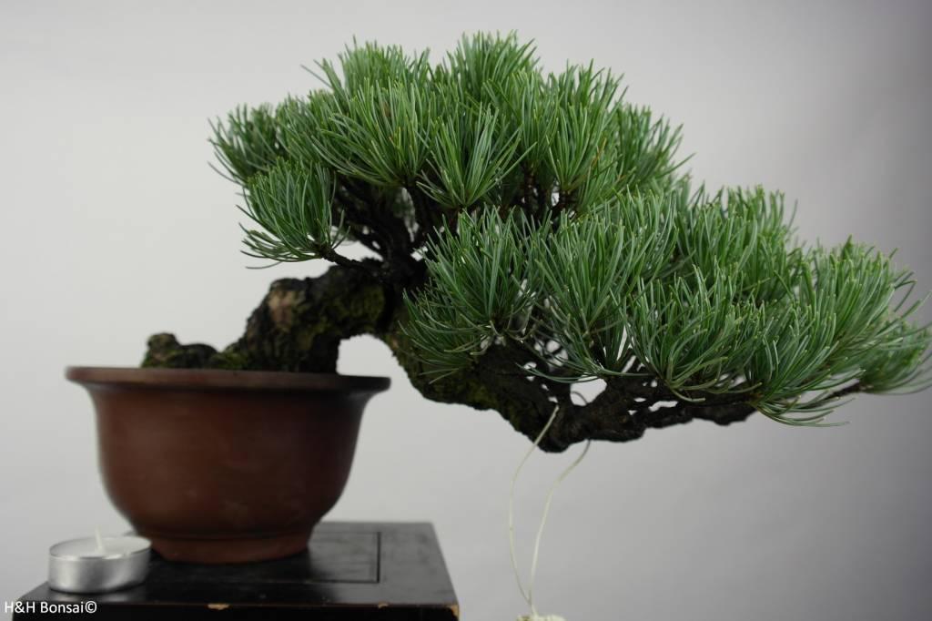 Bonsai Shohin Mädchenkiefer, Pinus parviflora, nr. 5397