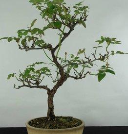 Bonsai Rosa sp., Roos, nr. 5435