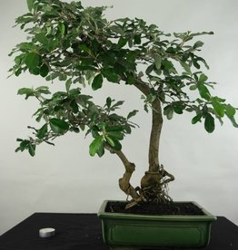 Bonsai Elaeagnus sp., nr. 5474
