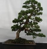 Bonsai Chin. Wacholder, Juniperus chinensis, nr. 5495