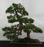 Bonsai Juniperus chinensis, Jeneverbes, nr. 5495