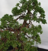 Bonsai Chin. Wacholder, Juniperus chinensis, nr. 5495