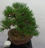 Bonsai Shohin Schwarzkiefer, Pinus thunbergii, nr. 5506