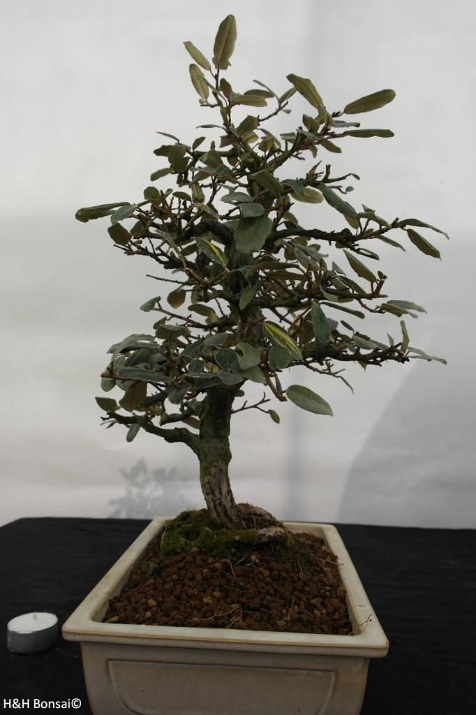 Bonsai Ölweide, Elaeagnus, nr. 5524