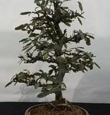 Bonsai Elaeagnus, Olijfwilg, nr. 5525