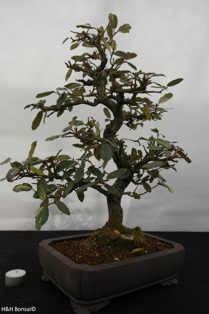 Bonsai Elaeagnus, Olijfwilg, nr. 5526