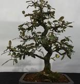 Bonsai Ölweide, Elaeagnus, nr. 5526