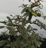 Bonsai Elaeagnus, no. 5526