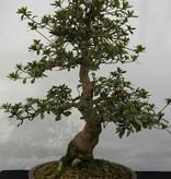 Bonsai Azalea Satsuki Kaho, nr. 5531