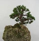Bonsai Juniperus chinensis, Jeneverbes, nr. 5538