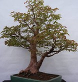 Bonsai Stewartia, nr. 5118