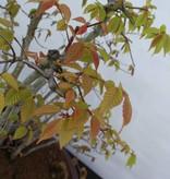 Bonsai Fagus sp., bossage, nr. 5574