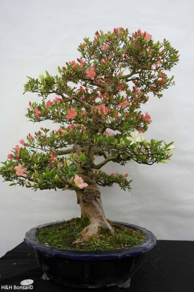 Bonsai Azalee Satsuki, Azalea Satsuki Shinkyo, nr. 5684