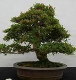 Bonsai Azalea SatsukiAkane, nr. 5400