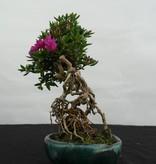 Bonsai Azalea Satsuki Hoshi no Kagayaki, no. 5532