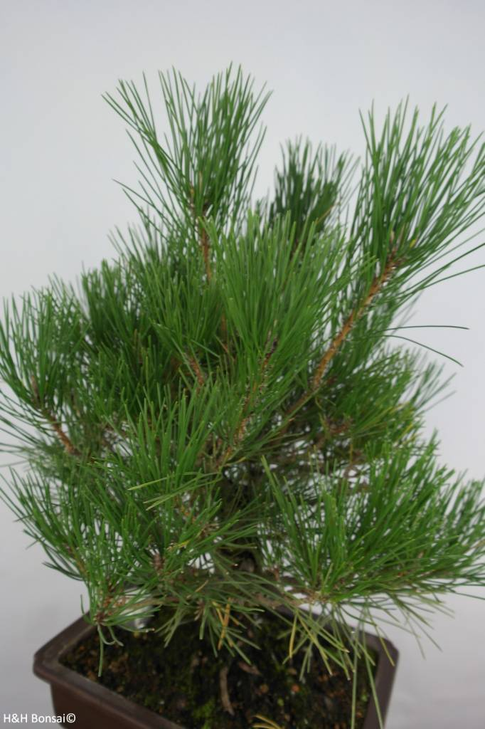 Bonsai Schwarzkiefer, Pinus thunbergii, nr. 5727