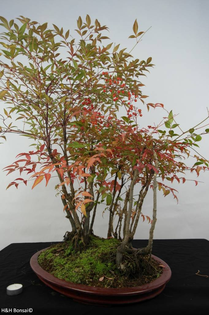 Bonsai Nandina domestica, no. 5732