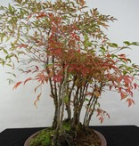 Bonsai Nandina domestica, nr. 5732