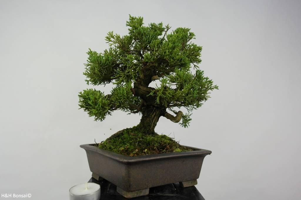 Bonsai Shohin Chin. Wacholder, Juniperus chinensis, nr. 5735