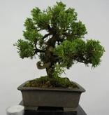 Bonsai Shohin Chinese Juniper, Juniperus chinensis, no. 5735