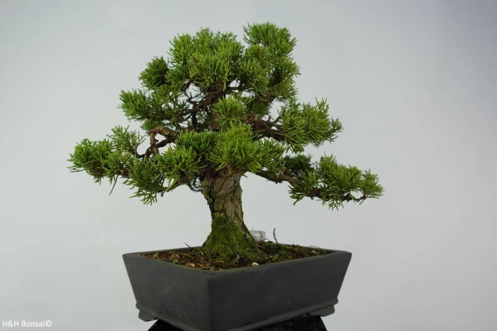 Bonsai Juniperus chinensis, Jeneverbes, nr. 5736