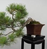 Bonsai Pinus penthaphylla, Japanse witte den, nr. 5759