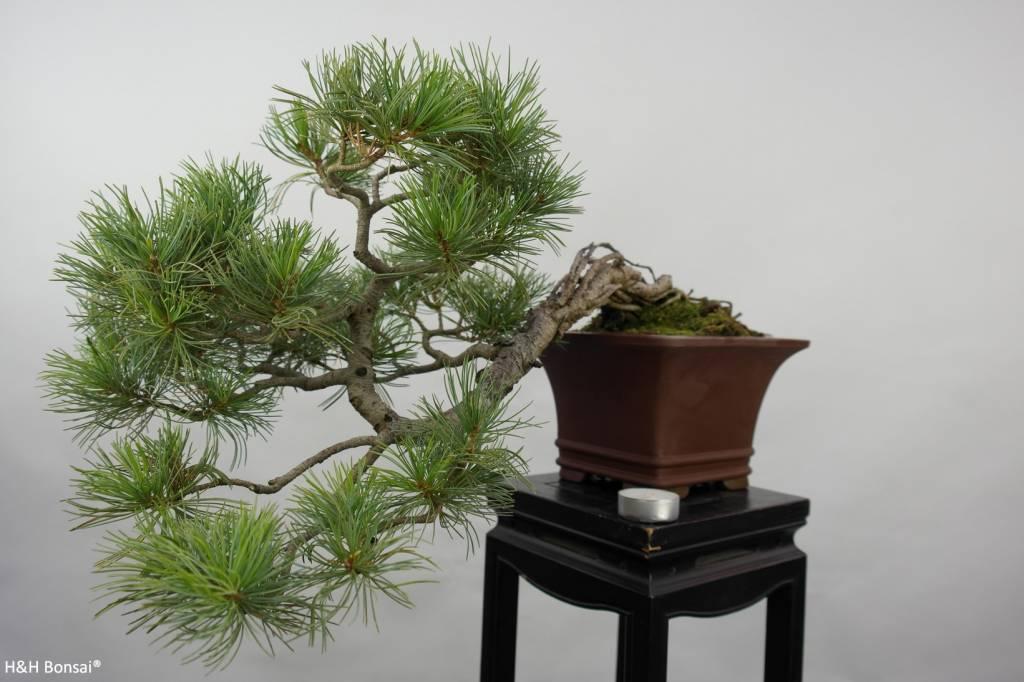 Bonsai Mädchenkiefer, Pinus penthaphylla, nr. 5759