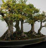 Bonsai Zelkova, nr. 5783